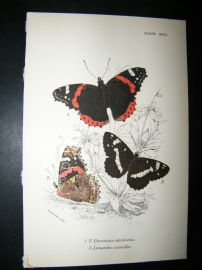 Allen & Kirby 1890's Antique Butterfly Print. Pyrameis Atlanta